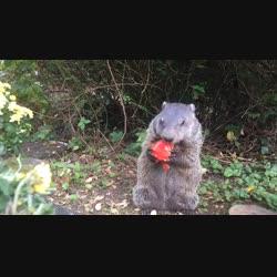Daisy the groundhog